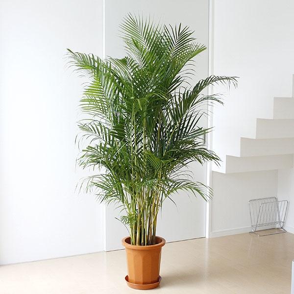 ホンカ 観葉植物6