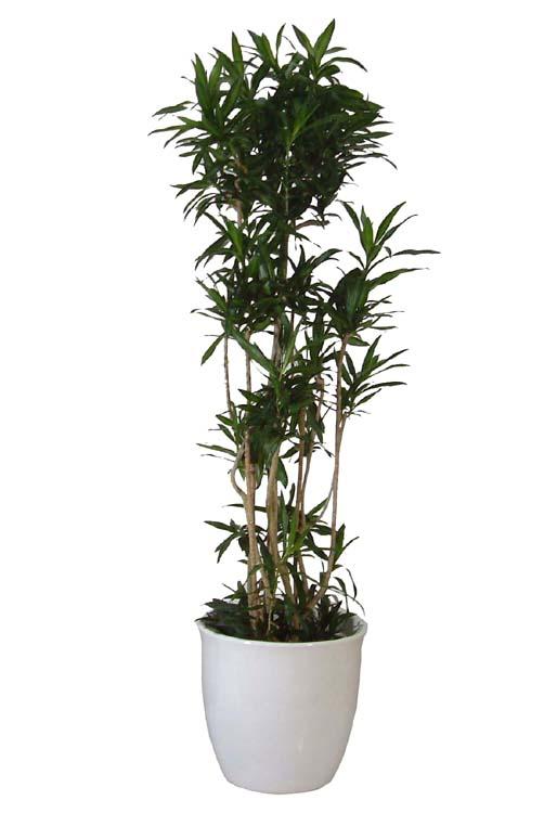 ホンカ 観葉植物4