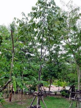 チェンガルの木