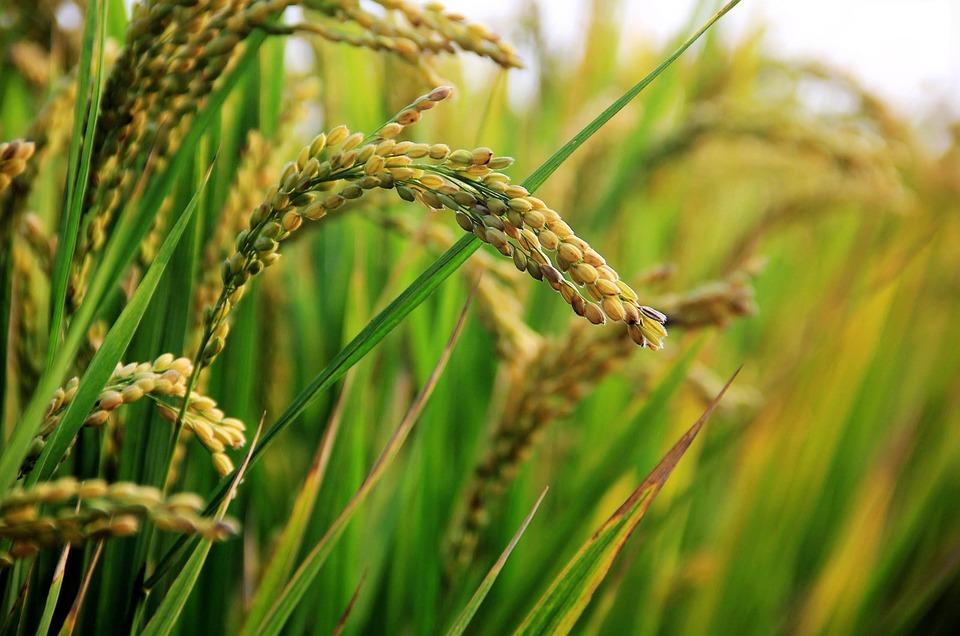 in-rice-field-2679153_960_720